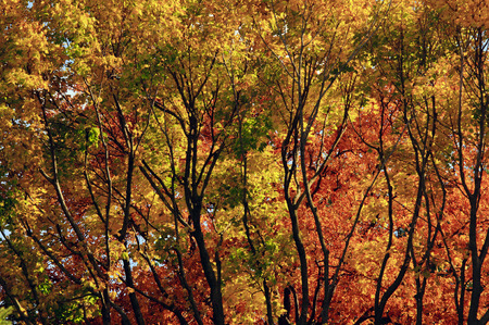 arboleda: bosque de árboles con follaje de otoño brillante