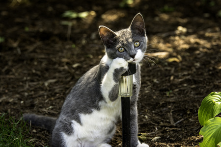 contented: young grey and white cat isolated next to landscaping light looking into camera with cute expression