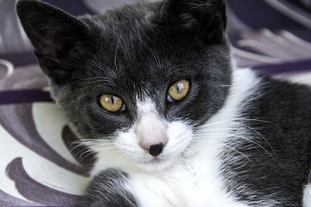 looking into camera: young grey and white cat isolated looking into camera