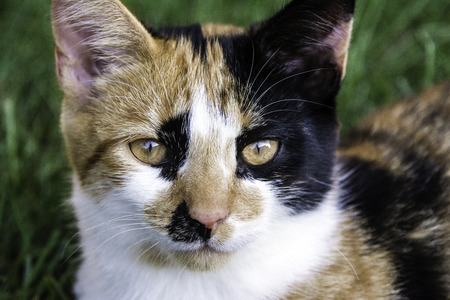calico: Young calico cat