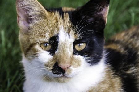 calico cat: Young calico cat