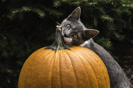 young grey and white cat resting head on pumpkin photo