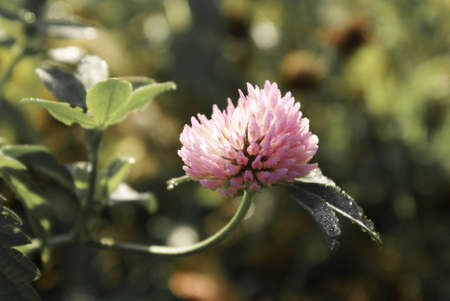 Red clover plants in sunshine Stock Photo - 14239620