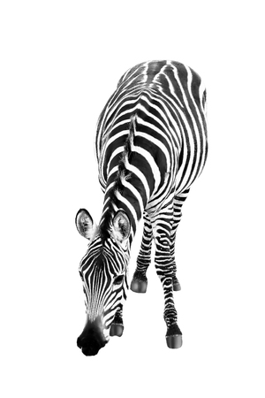 African zebra close up isolated on white background Stock Photo