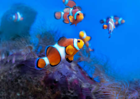 Ocellaris clownfish among the coral reef. Amphiprion ocellaris, also known as the false percula clownfish or common clownfish