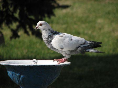 pidgeon: Dove drinking water Stock Photo