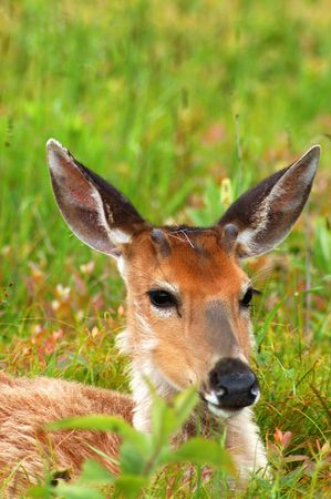 young deer laying down in green meadow Stock Photo