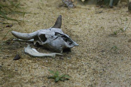 bull skull in deasert