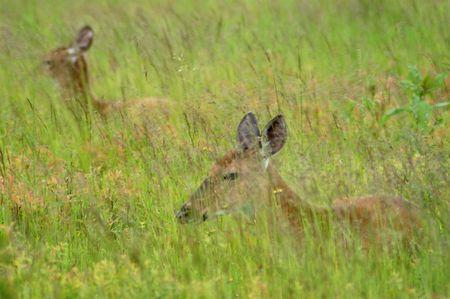 deer hiding in long grass