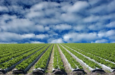 beauty farm: strawberry field with vivid blue sky and white clouds