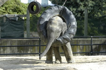 baby elephant playing with a tire swing Stock Photo