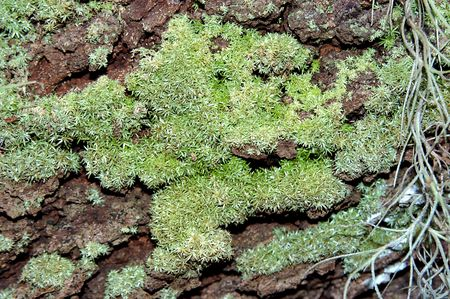 symbiotic: tree with moss growing on it Stock Photo