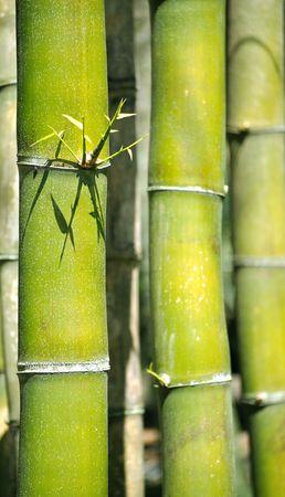 green bamboo trees close up Stock Photo