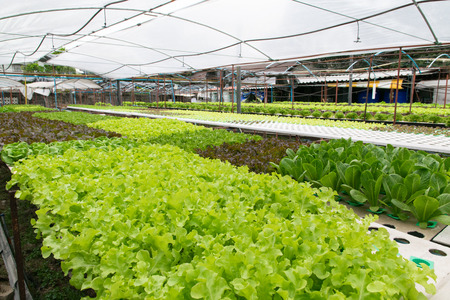 in the greenhouse: Hydroponic vegetables growing in greenhouse Stock Photo