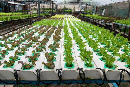 hydroponics: cultivation hydroponics green vegetable in farm