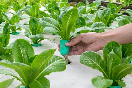 Organic verdure idroponica a portata di mano in giardino. Archivio Fotografico - 37104985