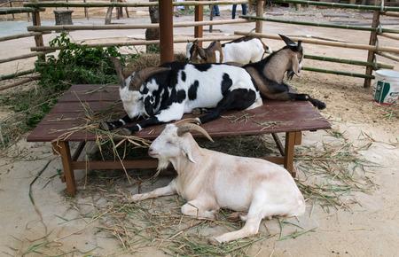 billygoat: Goats on a Farm, Goats flock confined