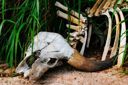 buffalo grass: Buffalo skull in grass