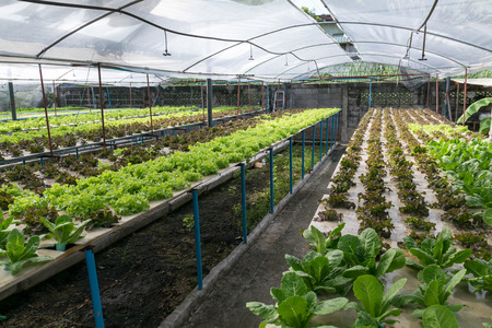 hydroponic: Hydroponic vegetables growing in greenhouse Stock Photo