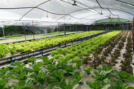 Hydroponic vegetables growing in greenhouse Standard-Bild