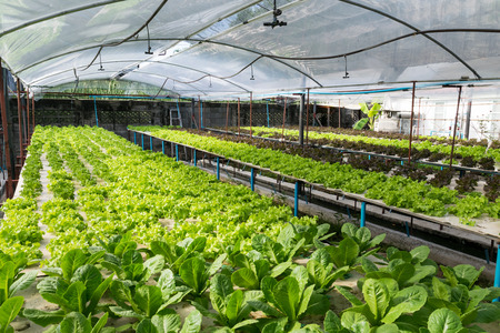 Hydroponic vegetables growing in greenhouse Stock Photo