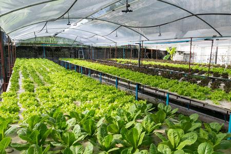 Hydroponic vegetables growing in greenhouse Reklamní fotografie
