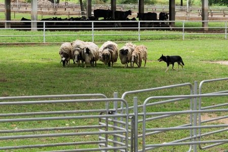 shepherd sheep: Sheep guided by dog and shepherd