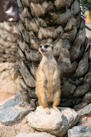suricata suricatta: Alert meerkat Suricata suricatta standing on guard
