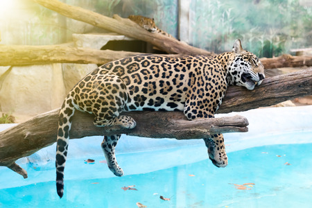 resting: Leopard resting on tree