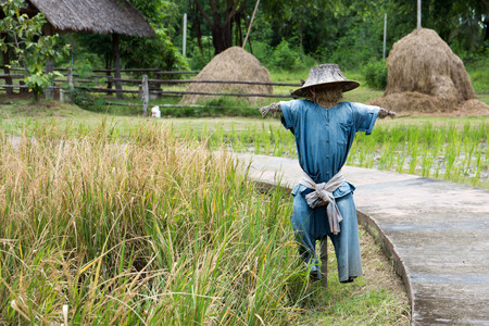 Scarecrow standing in a rice farm. Stock Photo