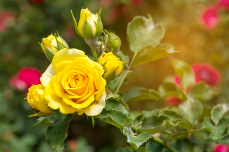 Yellow rose in the garden