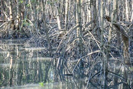 mangrove forest reflection in lake