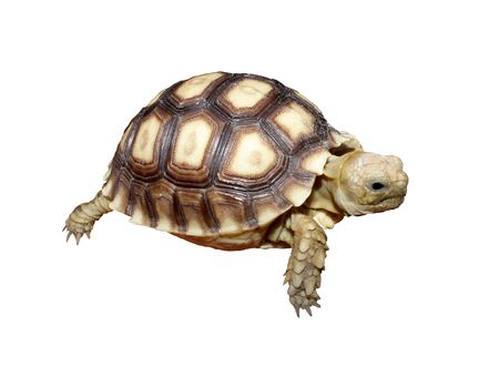 Baby African Spurred Tortoises Stock Photo - 7343718