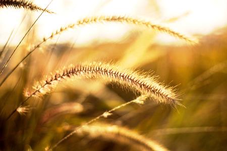 野草: 明るい夕日を背景に野草 写真素材