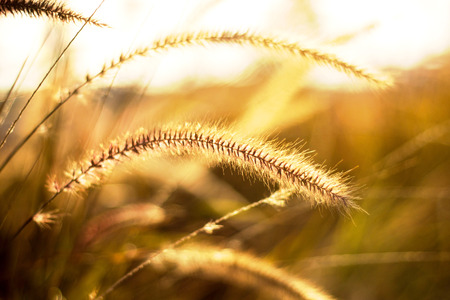 wild grass: Hierba salvaje en el fondo brillante del atardecer