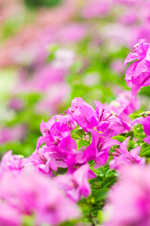 Pink bougainvillea blooms in the garden Stock Photo
