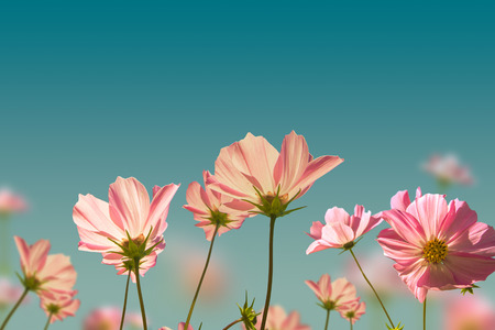 colorize: Pink flowers on the meadow background.Vintage style Stock Photo