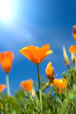 himmel hintergrund: Schöne orange Blumen und blauen Himmel im Hintergrund Lizenzfreie Bilder