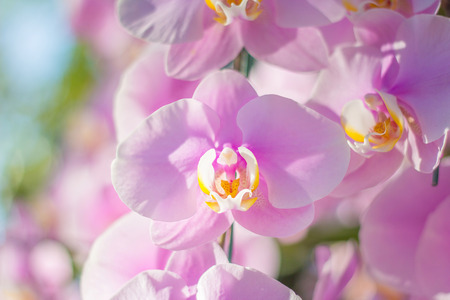 Close-up of pink orchid - phalaenopsis