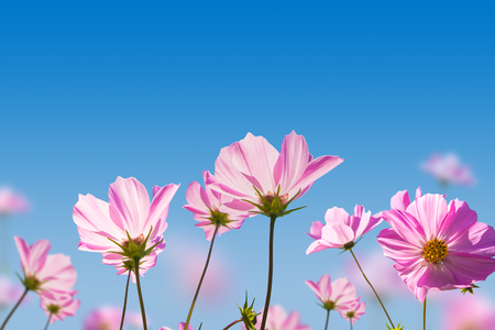 pink sky: Pink flowers on blue sky background. Stock Photo