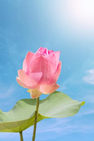 lotiform: Pink lotus on blue sky background