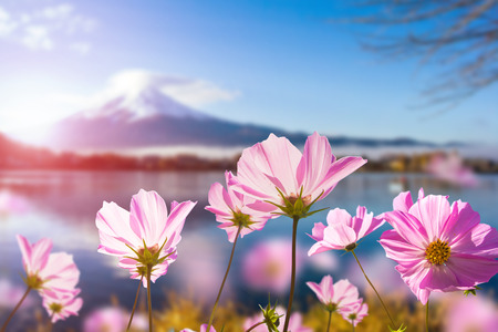 Pink cosmos flower blooming with translucent at petal on blurred Fuji mountain background