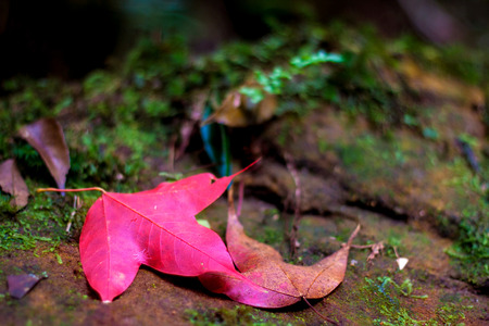 Autumn red maple leaves on green moss background at Phu Kradueng National Park, Loei province, Thailand. Stock Photo