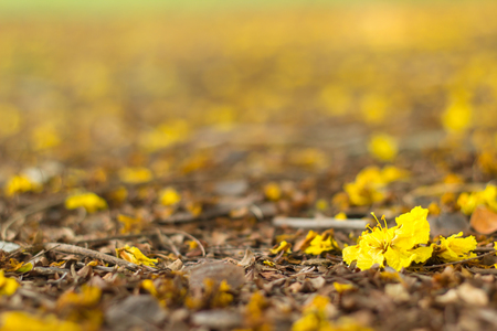 Burma Padauk flower drop on the ground. Stock Photo