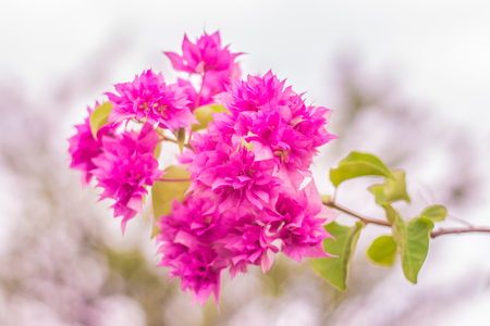 Beautiful pink bougainvillea booming in the garden.Soft focus-Vintage style Stock Photo