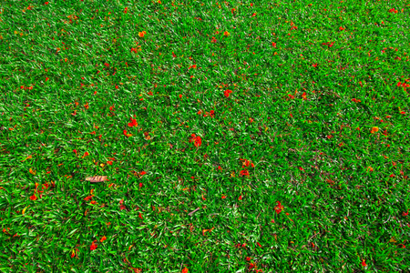 Top view of peacock flower fall spread on the surface of the lawn green.