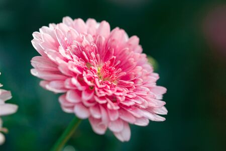 Selective focus beautiful pink Chrysanthemum flower on green nature background. Banco de Imagens