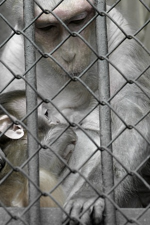 sad monkey with the baby behind bars in zoo photo