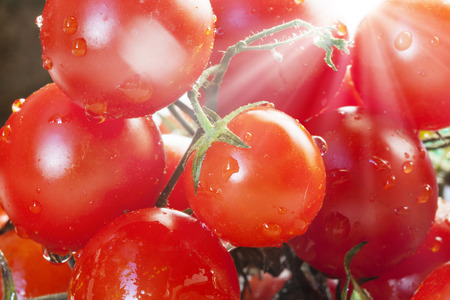 Bunch Cherry tomatoes crossed by sunbeams Banco de Imagens