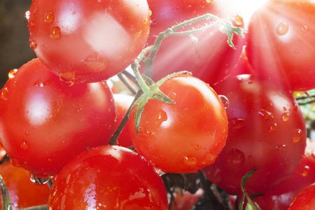 Tros tomaten van de kers doorkruist door zonnestralen